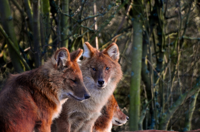 Pack of Dhole
